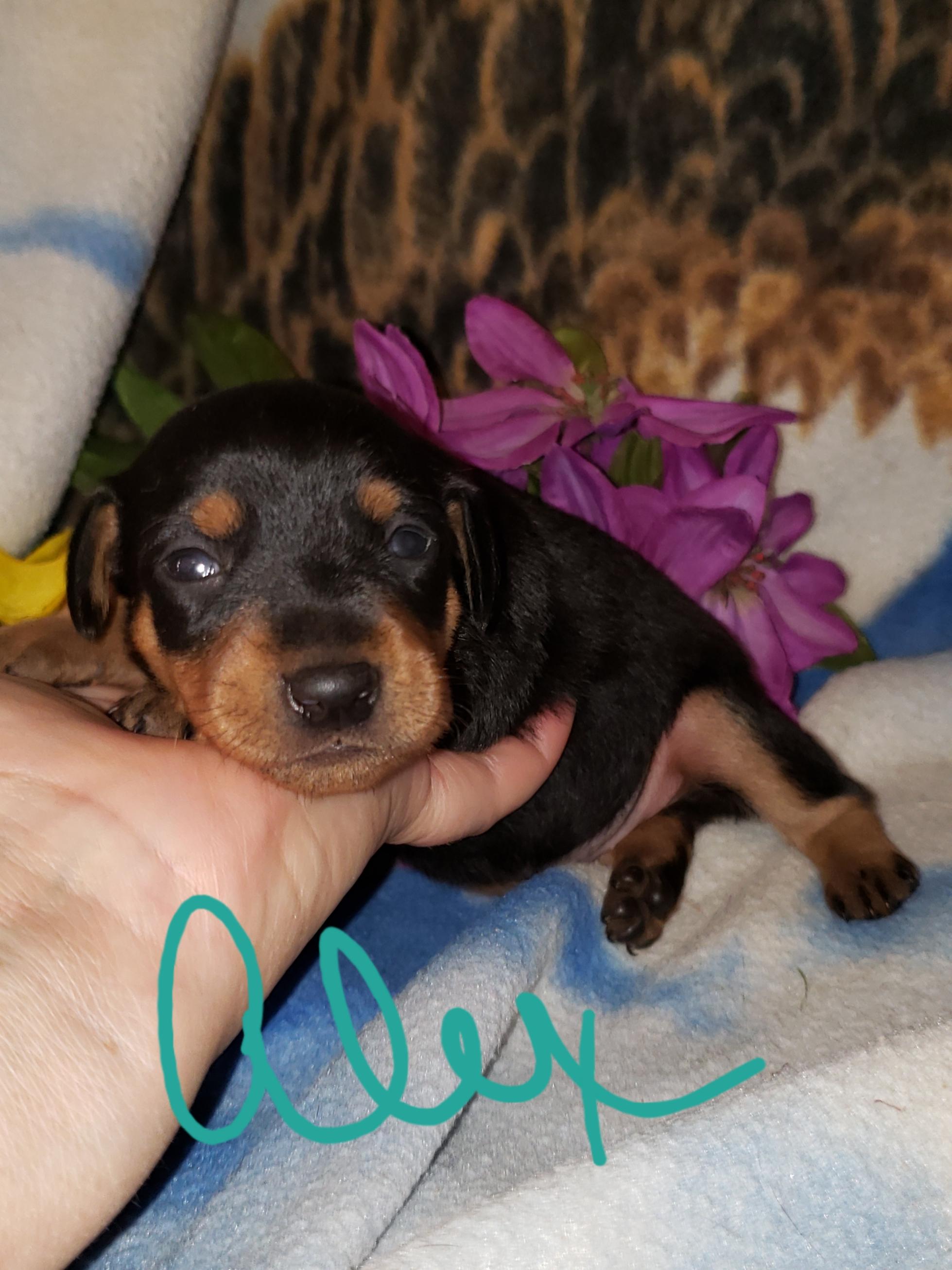 Miniature Pinscher (Min-Pin) puppies for sale