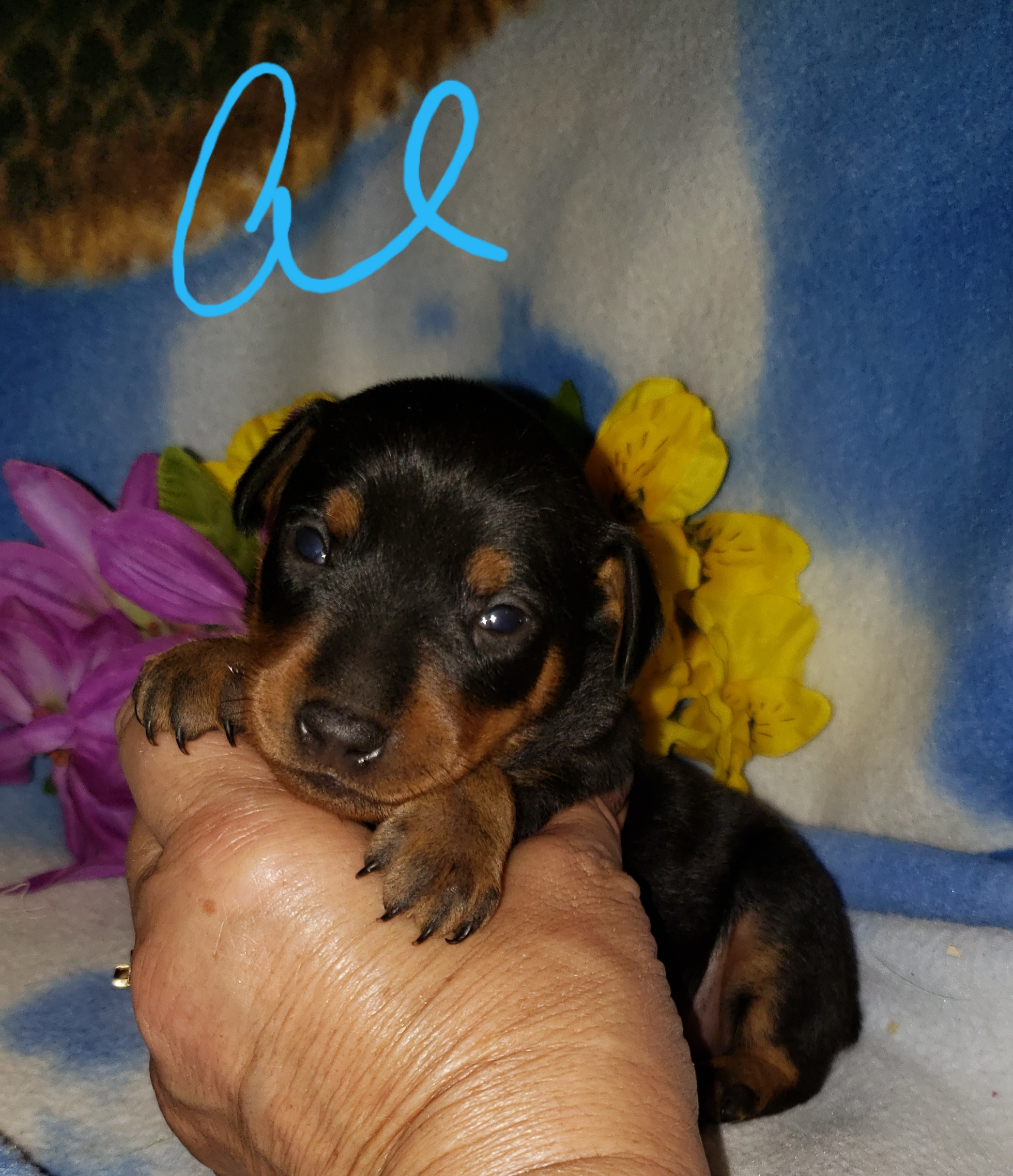 Miniature Pinscher (Min-Pin) puppies for sale