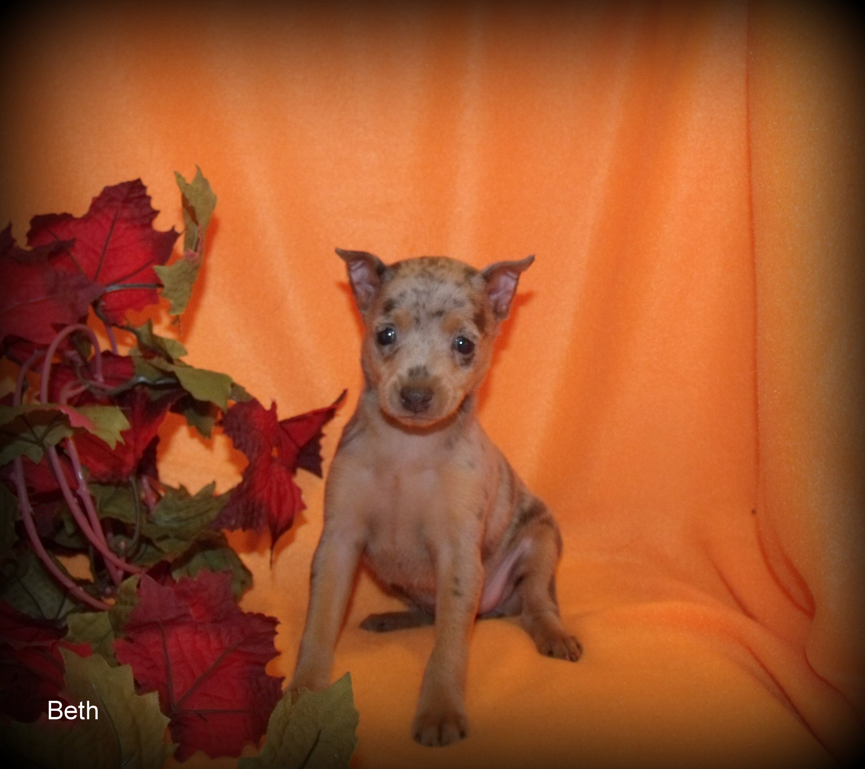 Gallery images and information: Blue Min Pin Puppies For Sale